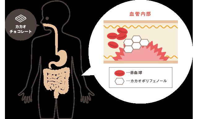 肝臓 カカオ ポリフェノール